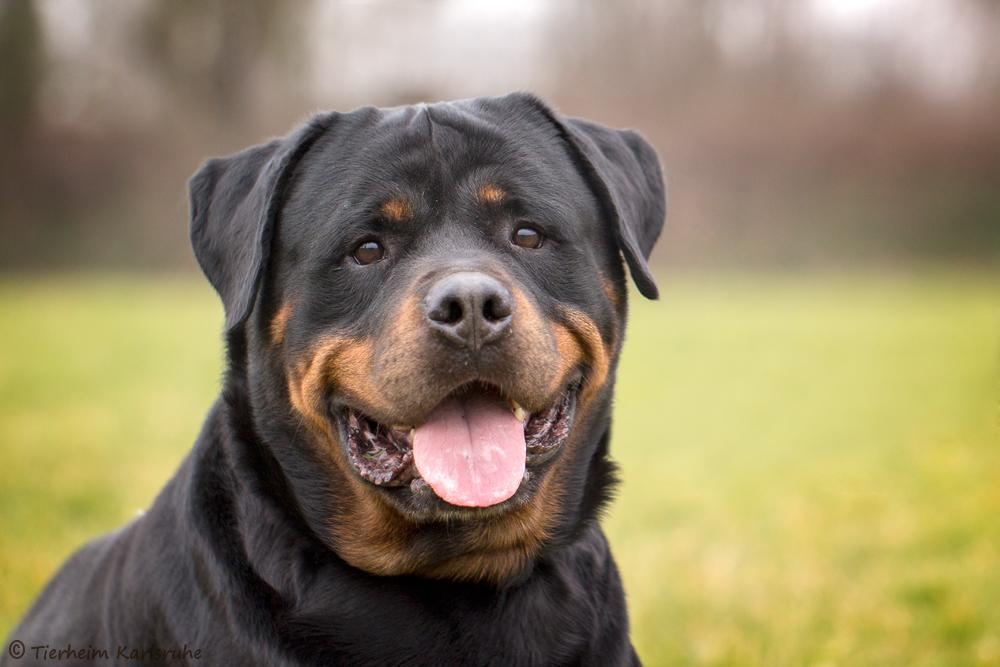 nero rottweiler im tierheim karlsruhe. Black Bedroom Furniture Sets. Home Design Ideas